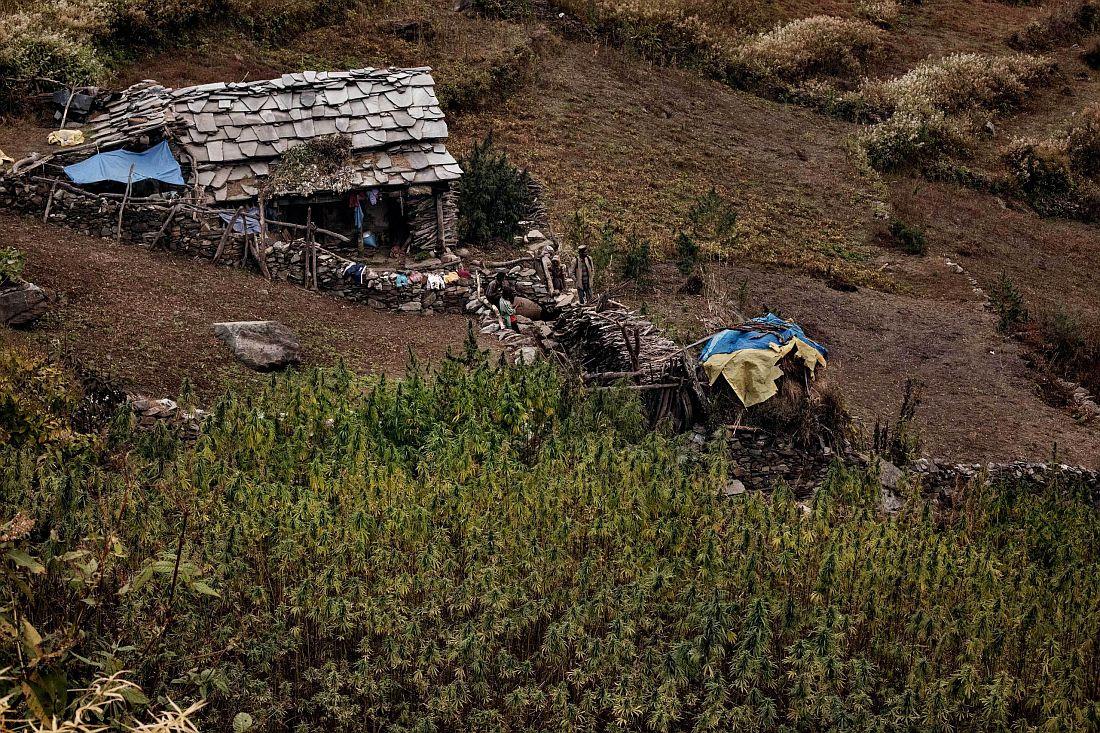 andrea-de-franciscis-himalayas-outlawed-marijuana-fields-02