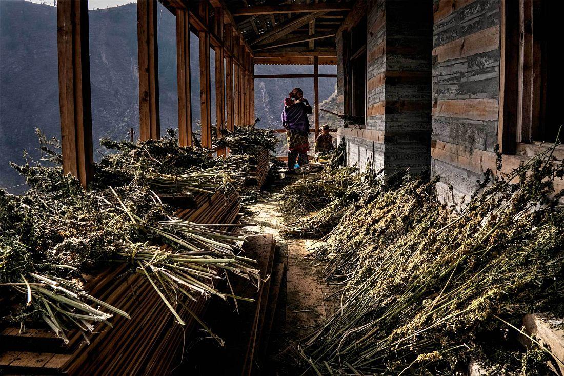 andrea-de-franciscis-himalayas-outlawed-marijuana-fields-03