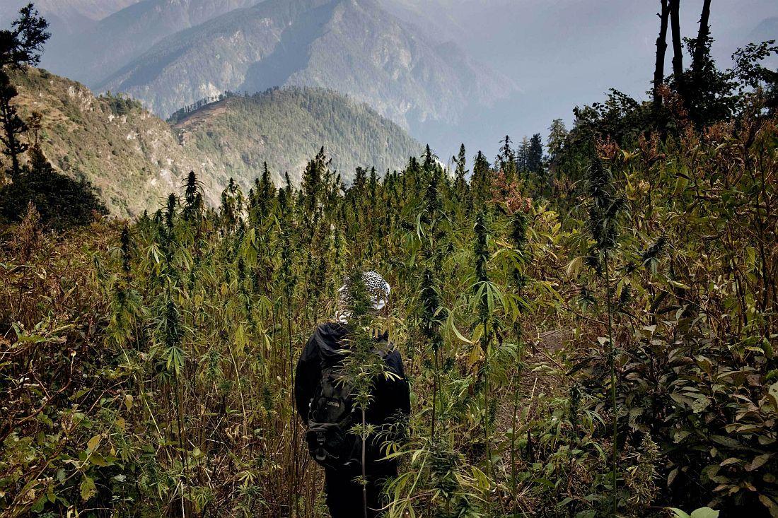 andrea-de-franciscis-himalayas-outlawed-marijuana-fields-10
