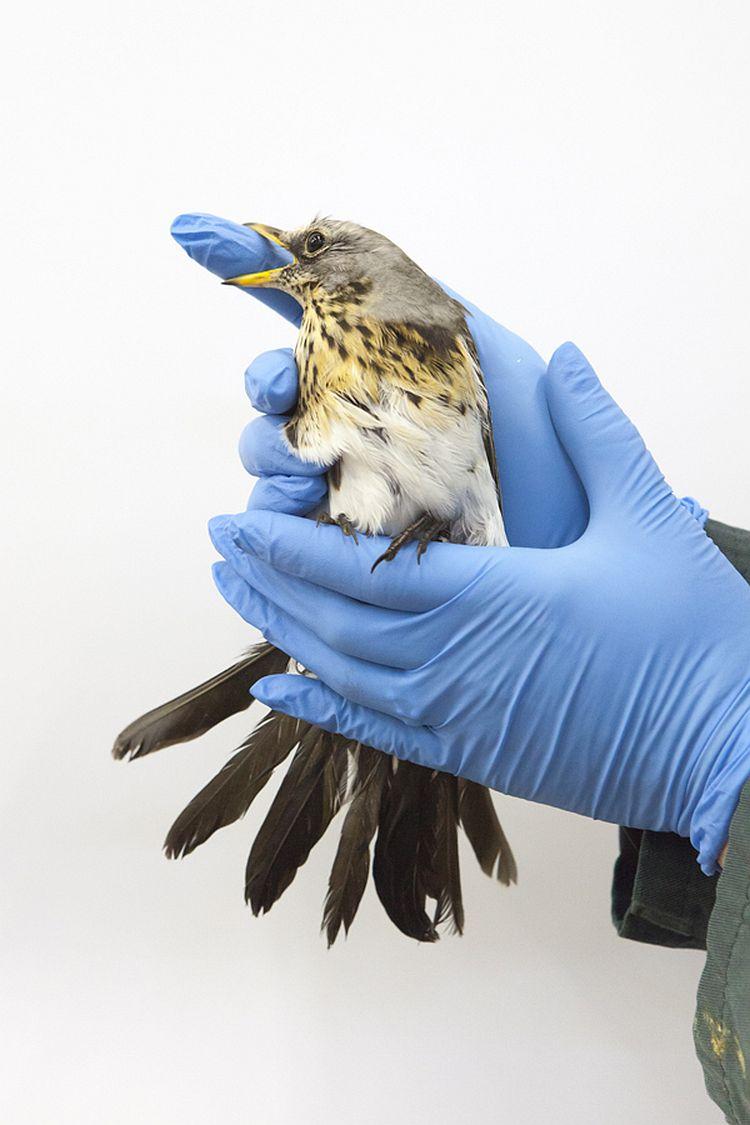kramsvogel, Vogelklas Karel Schot. © Anjes Gesink