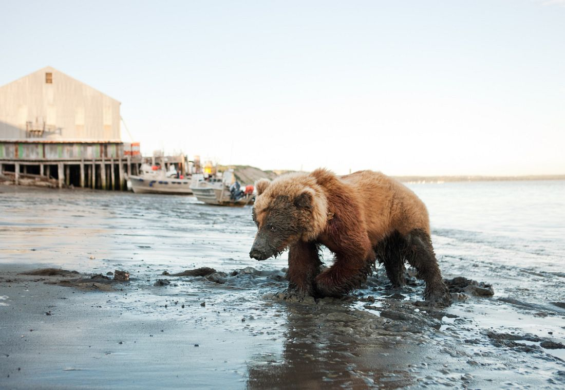 Wounded Bear Near Red Salmon I