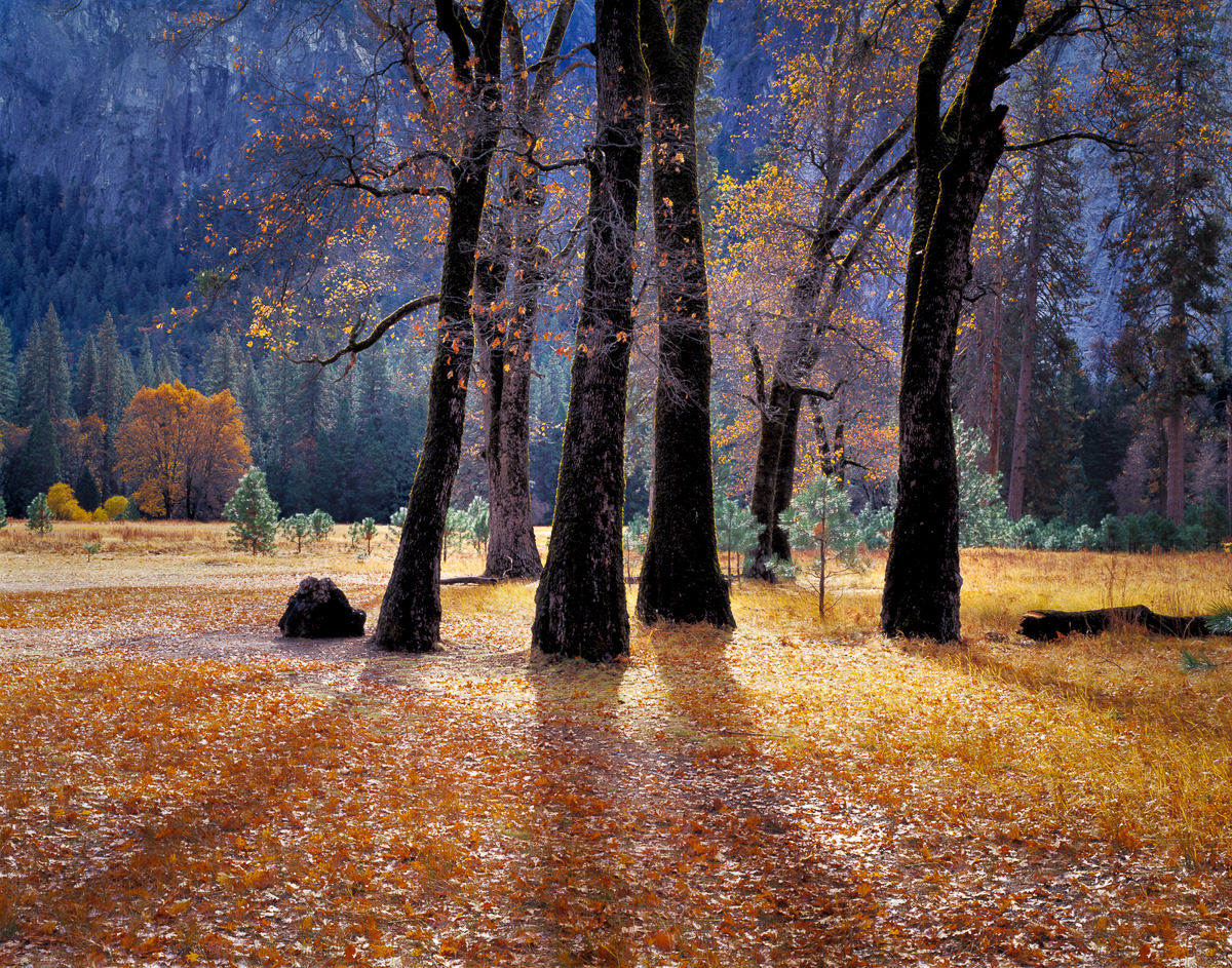 Black Oaks in Yosemite National Park, California