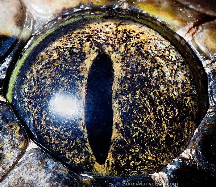 Tiger python (non albino) © Suren Manvelyan
