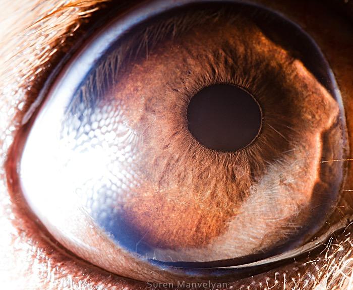 Pekines dog © Suren Manvelyan