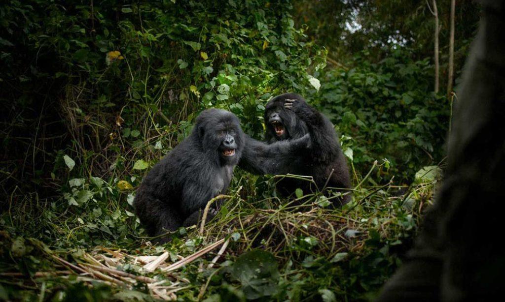 Shannon Witz: Virunga's Mountain Gorillas